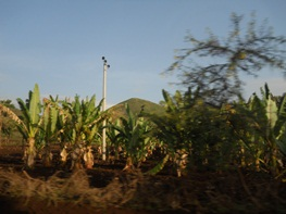 Ensete plantations