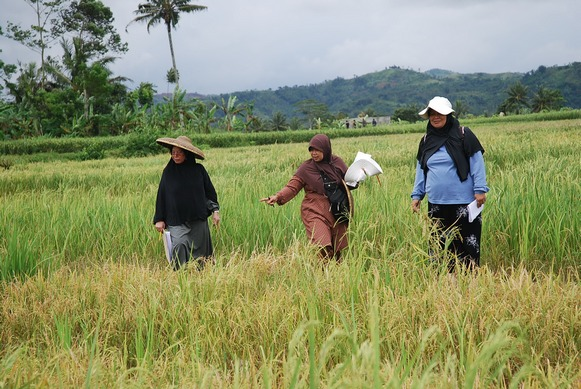 Selecting Pup1 lines in farmers' fields in Sukabumi, West Java, in 2010. L–R: Masdiar Bustamam, Tintin Suhartini and Ida Hanarida Sumantri.