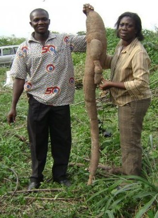 "Clearly, keeping the company of giants is not new for Elizabeth (right). This giant cassava tuber is from a 2010 CRI trial crossing improved CIAT material with CRI landraces (traditional farmer varieties. The trial was part of Bright Boakye Peprah's postgraduate work. Bright has since completed his GCP-funded masters on cassava breeding, and now a full time cassava breeder with CSIR–CRI. He is currently on study leave  pursuing a PhD on cassava biofortification in South Africa. On the left is Joseph Adjebeng-Danquah, a GCP-funded PhD student whose work centres on cassava drought tolerance. Our best quote from Joseph: ""It is important to move away from the all too common notion that cassava is an 'anywhere, anyhow' crop."""