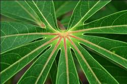 Cassava leaf. Photo: N Palmer/CIAT