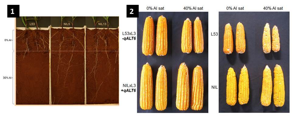 1: Rhyzobox containing two layers of Cerrado soil – a corrected top-soil and lower soils with 15 percent of aluminium saturation. We can see that near-isogenic lines (NILs) introgressed with the Al tolerance QTL (qALT6) that encompasses ZmMATE1 show deeper roots and longer secondary roots in acid soils, whereas the roots of L53 are mainly confined in the corrected top soil.  2: Maize ears, representing the improved yield stability in acid soils of a NIL per se and crossed with L3. NILs have the genetic background of L53 introgressed with qALT6, the major aluminium-tolerance QTL.