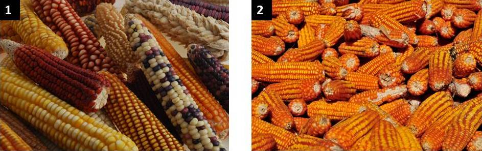 (1) Amazing maize and its maze of colour. Maize comes in many colours, hues and shapes. (2) Steeped in saffron: from this marvellous maize mix and mosaic, the Asian market favours yellow maize.