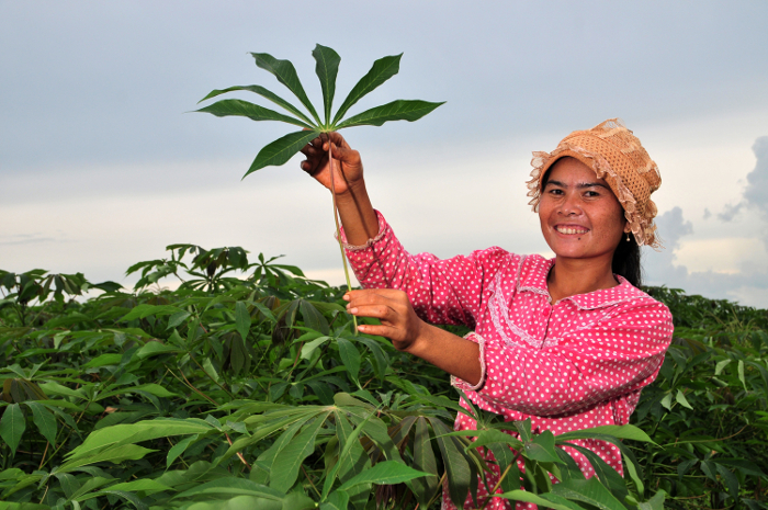 Proud in pink and polka dots: a farmer shows off a healthy cassava leaf in a plantation in Kampong Cham, Cambodia.