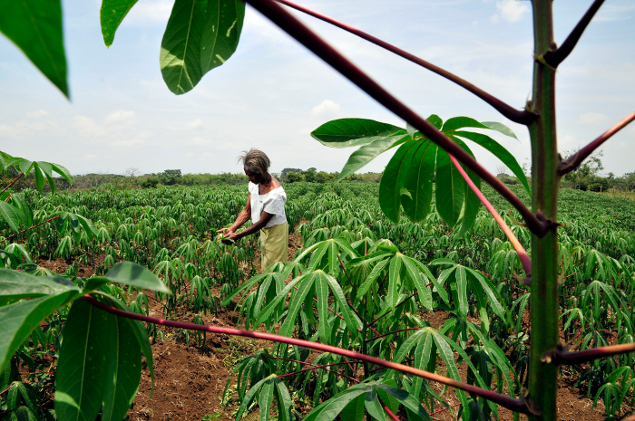Under the hot sun, the work goes on: a farmer tends her cassava crop in Colombia's southwestern Cauca department.
