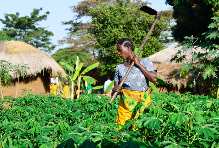 A bright spot in a sea of green: a farmer in her field of cassava, in the village of Tiniu, near Mwanza, northern Tanzania.