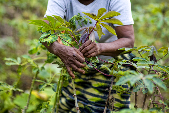 The hard-working hands of Angelique Ipanga, a teacher and farmer, as she tends her cassava crop in Lukolela, Democratic Republic of Congo.
