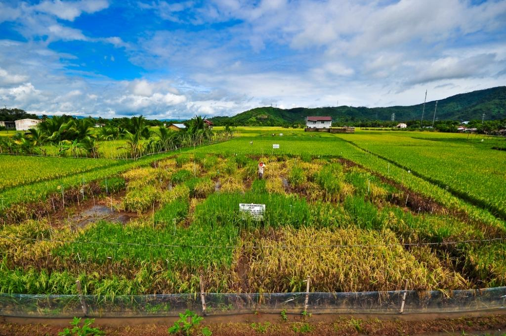 Screening for phosphorus-efficient rice, able to make the best of low levels of available phosphorus, on an International Rice Research Institute (IRRI) experimental plot in the Philippines.