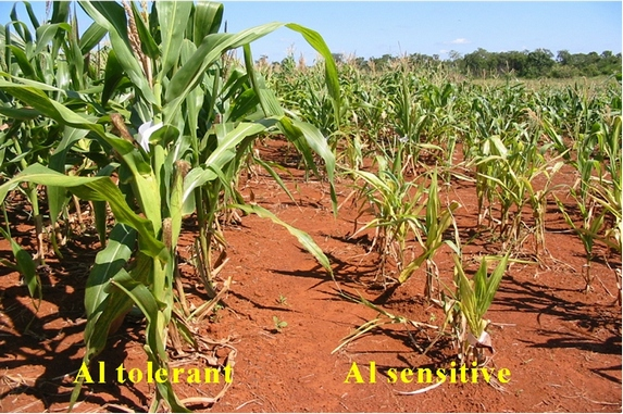 Maize trials in the field at our partners EMBRAPA, the Brazilian Agricultural Research Corporation. The maize plants on the left are aluminium-tolerant while those on the right are not.