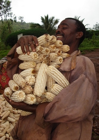 August 2008: a huge handful, and more where that came from in Kwale, Kenya. This farmer's healthy harvest came from KARI hybrids.